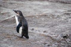 Afrykański pingwin na plaży w Południowa Afryka Obrazy Royalty Free