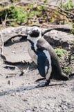 Afrykański pingwin na plaży w Południowa Afryka Zdjęcia Stock