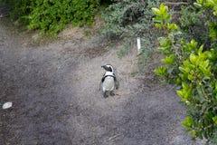 Afrykański pingwin od Simon& x27; s conservancy grodzki teren, Południowa Afryka Zdjęcie Stock
