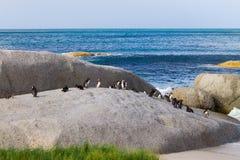 Afrykański pingwin od Simon& x27; s conservancy grodzki teren, Południowa Afryka Fotografia Royalty Free
