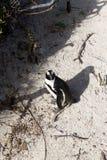Afrykański pingwin od Simon ` s conservancy grodzkiego terenu, Południowa Afryka Zdjęcie Royalty Free