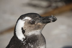 Afrykański pingwin Południowa Afryka Fotografia Royalty Free