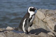 Afrykański pingwin Południowa Afryka Zdjęcia Royalty Free