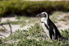 Afrykański pingwin, Południowa Afryka Zdjęcie Royalty Free