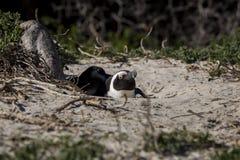 Afrykański pingwin, Południowa Afryka Fotografia Royalty Free