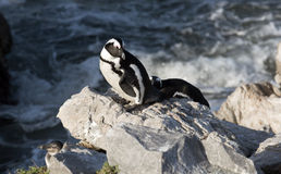 Afrykański pingwin przy kolonią w Betty Podpalanym Zachodnim przylądku Południowa Afryka Zdjęcie Stock