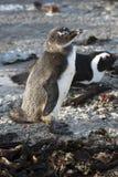 Afrykański pingwin przy kolonią w Betty Podpalanym Zachodnim przylądku Południowa Afryka Fotografia Royalty Free