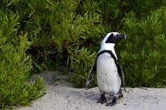 Afrykański pingwin przy plażą Zdjęcie Stock