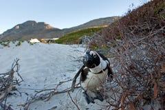 Afrykański pingwin, spheniscus demersus, Południowa Afryka Zdjęcie Stock
