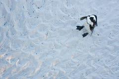Afrykański pingwin, spheniscus demersus, Południowa Afryka Obraz Stock