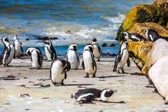 Afrykański pingwin w głazu pingwinu koloni Zdjęcia Stock