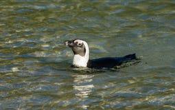Afrykański pingwinu dopłynięcie w płytkiej wodzie Zdjęcie Royalty Free