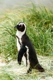 Afrykański pingwinu lat Spheniscus Demersus przy głaz plażą wewnątrz Zdjęcia Stock
