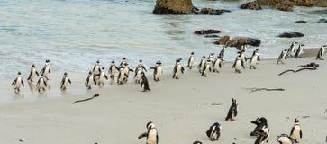 Afrykański pingwinu lat Spheniscus Demersus przy głaz plażą wewnątrz Zdjęcie Stock