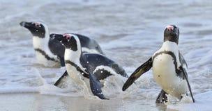 Afrykański pingwinu Spheniscus demersus afryce kanonkop słynnych góry do południowego malowniczego winnicę wiosna Zdjęcia Stock