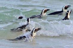 Afrykański pingwinu Spheniscus demersus afryce kanonkop słynnych góry do południowego malowniczego winnicę wiosna Zdjęcie Stock