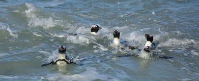 Afrykański pingwinu Spheniscus demersus afryce kanonkop słynnych góry do południowego malowniczego winnicę wiosna Obrazy Royalty Free