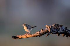 Afrykański Pipit umieszczający w drzewie Obraz Royalty Free