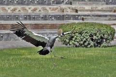Afrykański popielaty koronowany dźwigowy lądowanie fotografia stock