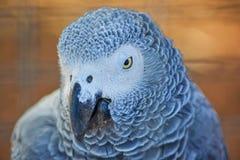 Afrykański popielaty papugi zakończenie w górę portreta Obrazy Stock