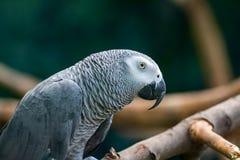 Afrykański Popielaty Papuzi obsiadanie w drewniane gałąź Obraz Stock