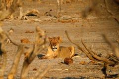 Afrykański równina drapieżnik Fotografia Royalty Free