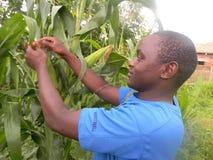 Afrykański rolnik sprawdza kukurydzane rośliny obrazy royalty free