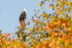 Afrykański Rybi Eagle, Suszy liście Zdjęcie Stock