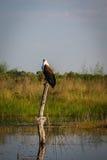 Afrykański Rybi Eagle szuka dla zdobycza w zalewającym bagnie Obrazy Stock