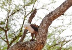 Afrykański Rybi Eagle w drzewnym łasowaniu Fotografia Stock