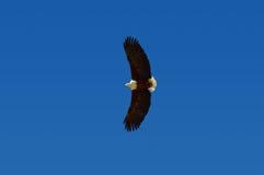 Afrykański Rybi Eagle w locie, Południowa Afryka Zdjęcia Stock