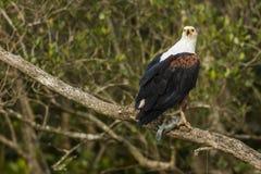 Afrykański Rybi Eagle z rybim Południowa Afryka Fotografia Stock