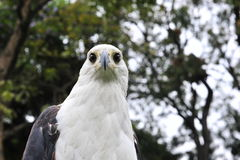 Afrykański Rybiego Eagle portret Afrykański Rybi Eagle (Haliaeetus vocifer) Obrazy Royalty Free