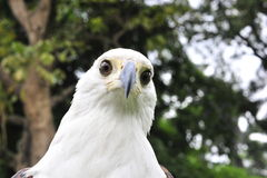 Afrykański Rybiego Eagle portret Afrykański Rybi Eagle (Haliaeetus vocifer) Fotografia Stock