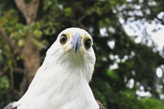 Afrykański Rybiego Eagle portret Afrykański Rybi Eagle (Haliaeetus vocifer) Obraz Stock