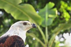 Afrykański Rybiego Eagle portret Afrykański Rybi Eagle (Haliaeetus vocifer) Zdjęcie Stock