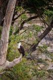 Afrykański rybiego orła Haliaeetus vocifer tyczenie na drzewie, Południowa Afryka zdjęcia stock
