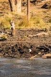Afrykański rybiego orła Haliaeetus vocifer tyczenie na ziemi, Południowa Afryka Obrazy Royalty Free