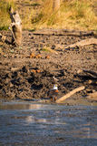 Afrykański rybiego orła Haliaeetus vocifer tyczenie na ziemi, Południowa Afryka Zdjęcie Stock