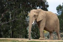 Afrykański słoń, żeński odprowadzenie, drzewa w tle, wielcy ucho, spokojny pokojowy potężny zwierzę zdjęcia stock