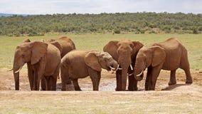 afrykański słoń Obrazy Stock