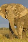 afrykański słoń Zdjęcie Stock
