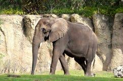 Afrykański słoń Fotografia Royalty Free