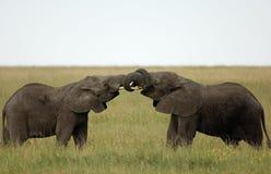 Afrykański słoń obraz royalty free