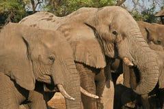 Afrykański Słoń -3 Fotografia Stock