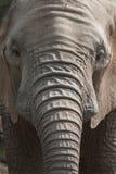 Afrykański słoń Zdjęcia Stock