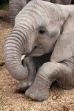 afrykański słoń Obrazy Royalty Free