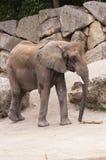 (1) afrykański słoń Obrazy Royalty Free