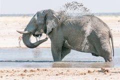 Afrykański słoń bierze borowinowego skąpanie przy waterhole Fotografia Stock