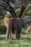 Afrykański słoń blisko drzewa Kenja, Afryka Zdjęcie Stock